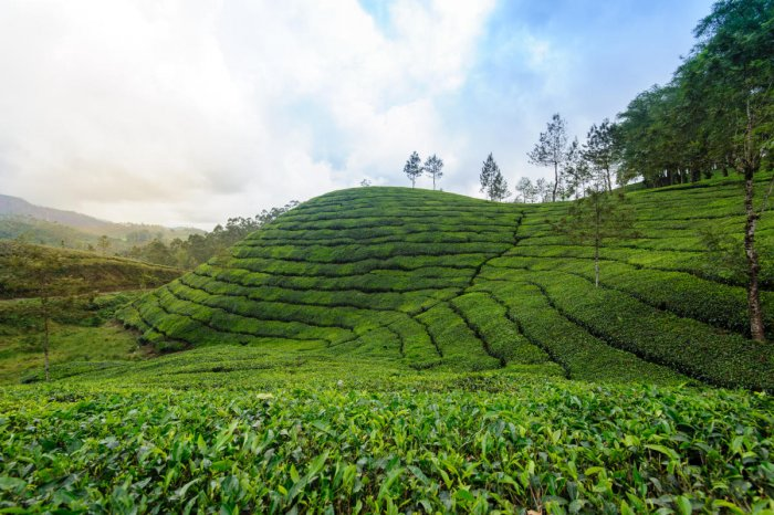 A rare variety of tea from Upper Assam's Dikom Tea Estate set a new record. DH Photo
