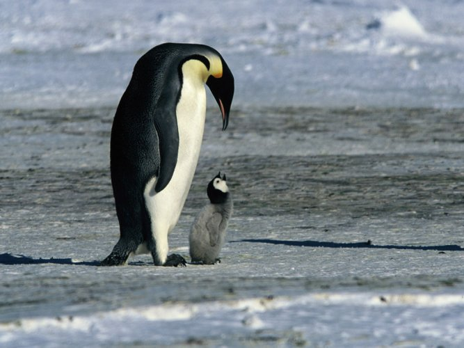 Emperor penguins may not cope with climate change: study
