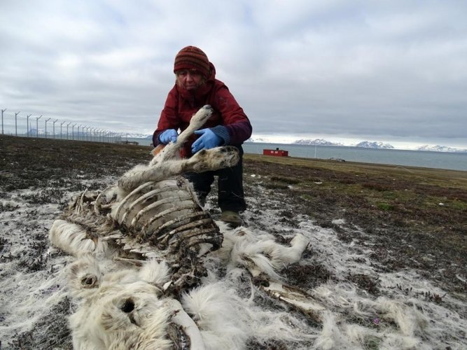 Some 200 reindeer have been found dead from starvation in the Arctic archipelago Svalbard, an unusually high number, the Norwegian Polar Institute said Monday, pointing the finger at climate change. (AFP Photo)
