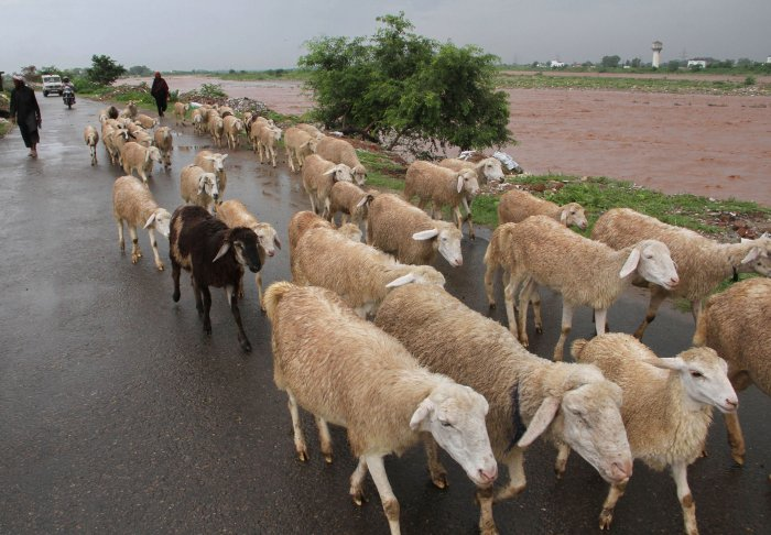The lover readily agreed and gave 71 sheep to the woman's husband and the two started living together happily. (File Photo)