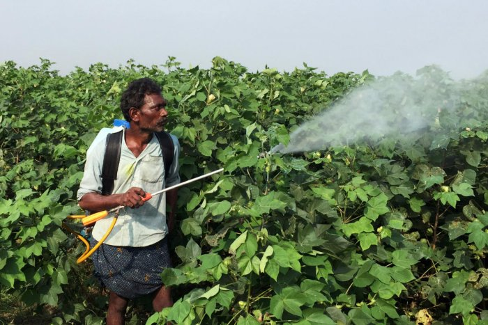 A labourer sprays pesticides on genetically modified cotton crops in Guntur, Andhra Pradesh. (Reuters Photo)