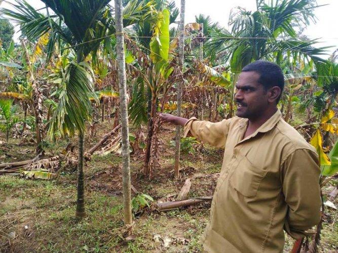 Vasudevan at the plantain farm damaged in the floods.