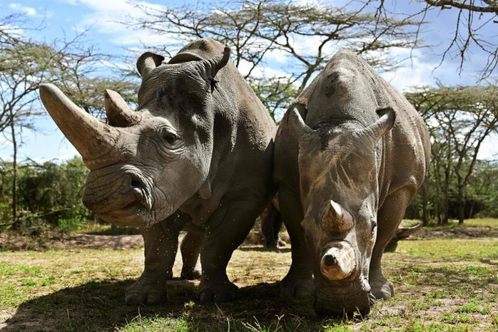World's last female pair of Northern White Rhinoceros, Najin (L) with her daughter Fatu in their enclosure at Ol Pejeta Conservancy at Laikipia's county headquarters. (AFP Photo)