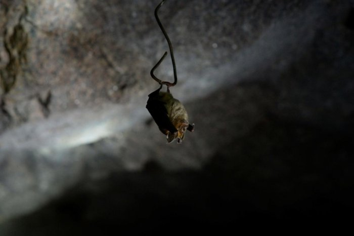 A bat hibernates on a piece of wire hanging from the ceiling of a tunnel at Steenkampskraal (SKK) rare-earth mine on July 29, 2019, about 80Km from the Western Cape town of Vanrhynsdorp. Photo by AFP