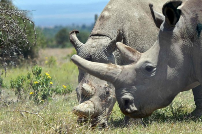 Seven eggs from the world's last two remaining northern white rhinos have been successfully fertilised artificially, reviving hopes of saving the endangered animals. (AFP Photo)
