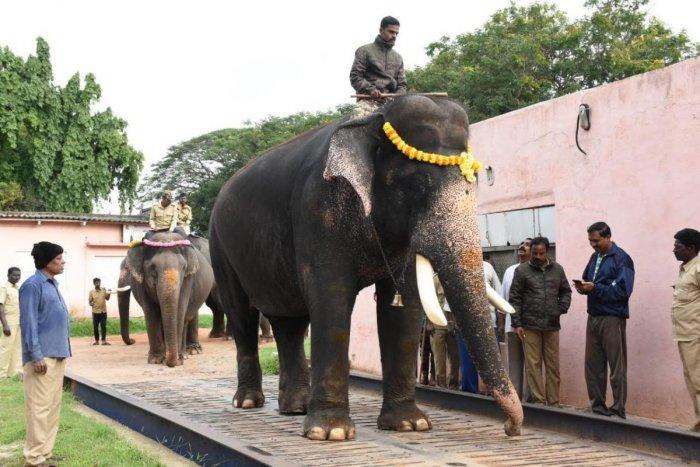 The Dasara elephants, lead by Arjuna, being weighed on Dhanwantri Road, in Mysuru, on Tuesday morning. Veterinarian Dr Nagaraj is seen.
