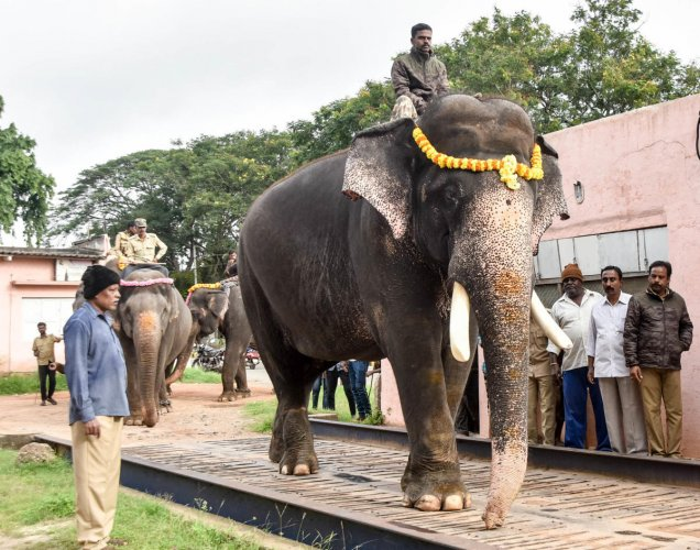 Dasara elephants, led by Arjuna, are weighed in Mysuru on Tuesday.