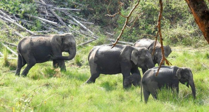 A herd of wild elephants in Nagarahole National Park.