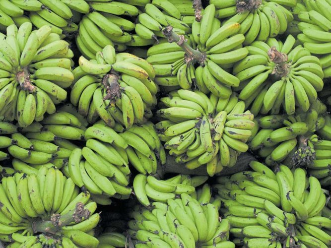 Bananas are recognised as the most important fruit crop -- providing food, nutrition and income for millions in both rural and urban areas across the globe.
