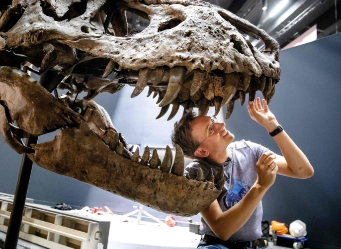 Scientists previously believed that two large holes in the roof of a T rex's skull -- called the dorsotemporal fenestra -- were filled with muscles that assist with jaw movements, according to the study published in The Anatomical Record journal. (AFP Fil