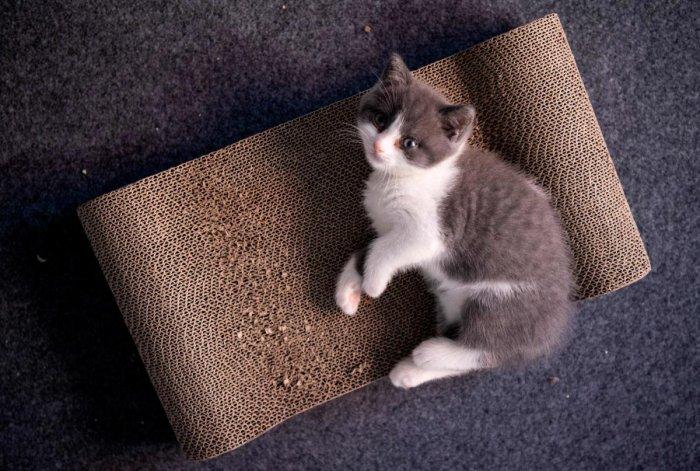 China's first cloned kitten Garlic. (AFP Photo)