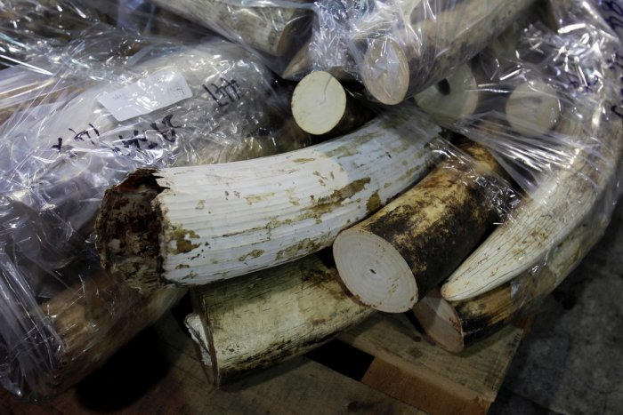 FILE PHOTO: More than 500 pieces of ivory tusks are displayed after being seized by the Customs and Excise Department in Hong Kong, November 16, 2012, from a shipping container that arrived from Tanzania. Reuters