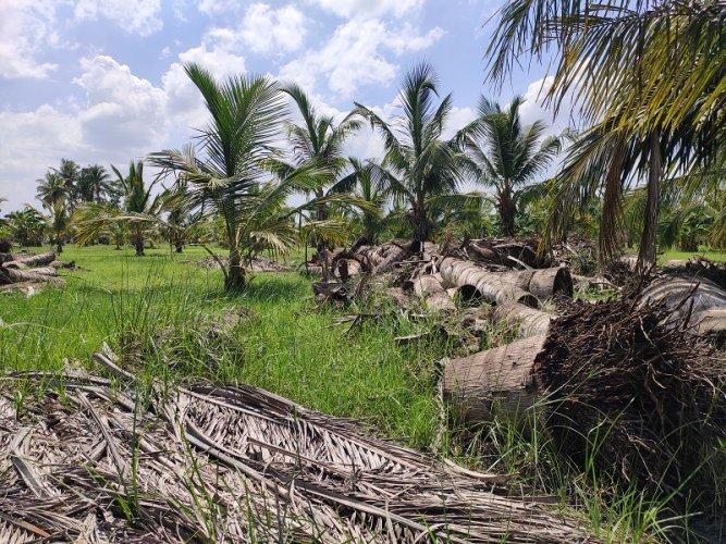 Debris at a coconut farm affected by Cyclone Gaja in Tamil Nadu's Cauvery Delta region.