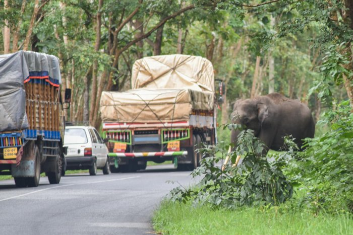 Vehicles move on the high whay through Bandipur even as an elephant attempts to cross the road. hus, As much as 34.60 KM of road passes through the protected area. DH File Photo