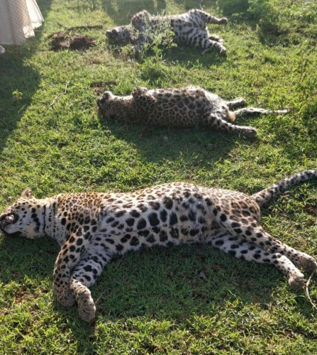 The carcasses of the leopards found at Hallere village, Nanjangud taluk, Mysuru district on Monday.