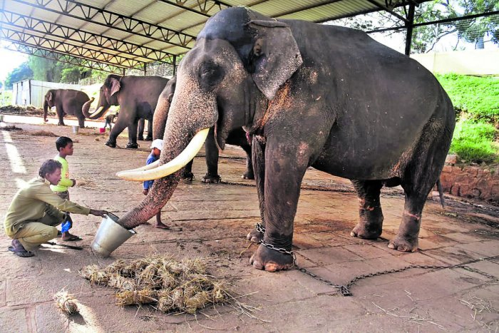 A kaavadi gives special food to a Dasara elephant on the Palace premises in Mysuru.