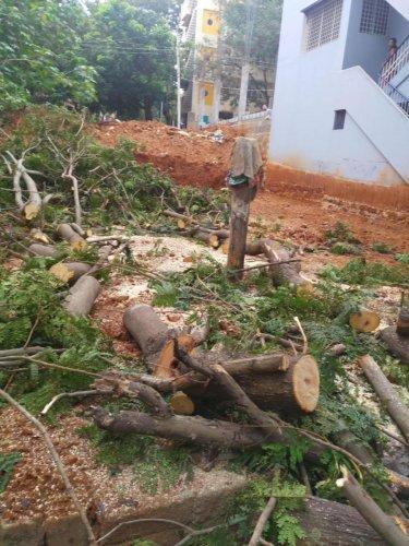 The 35 feet tall tree that was cut down in Rajarajeshwari Nagar on Wednesday.