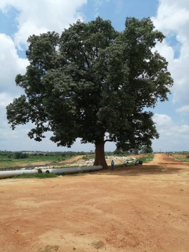 The Kaadu Boorga tree, which now lies in the buffer zone of a stormwater drain in KG Layout of Block 1.DH PHOTOS/SANDESH MS