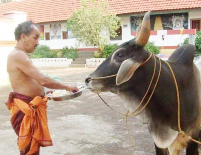 A file photo of B G Narayana Bhat, chief priest of Omkareshwara Temple in Madikeri, feeding a bull.