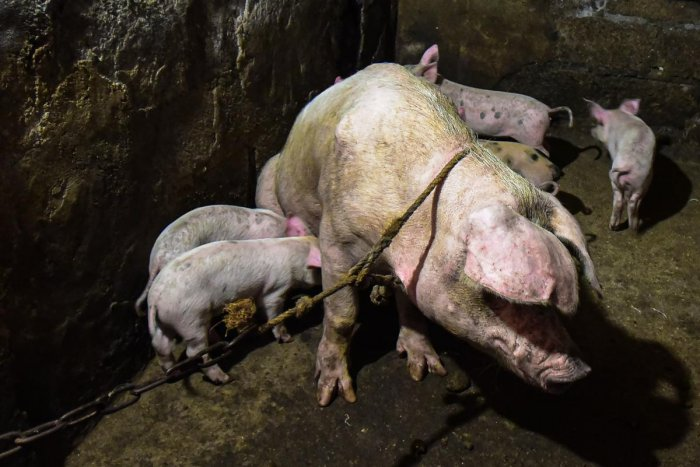 Thailand has been on high alert since the outbreak of African swine fever among pigs in Myanmar, Laos, Cambodia, but it has yet to report an outbreak. Representative image via AFP