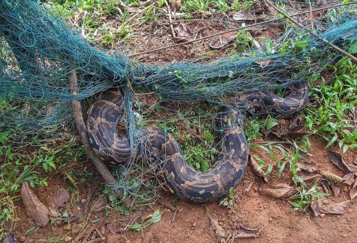 Indian Rock Python entangled in a net at Kucchuru village in Hebri taluk.