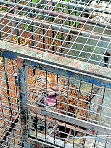 A leopard which fell into a well was rescued.