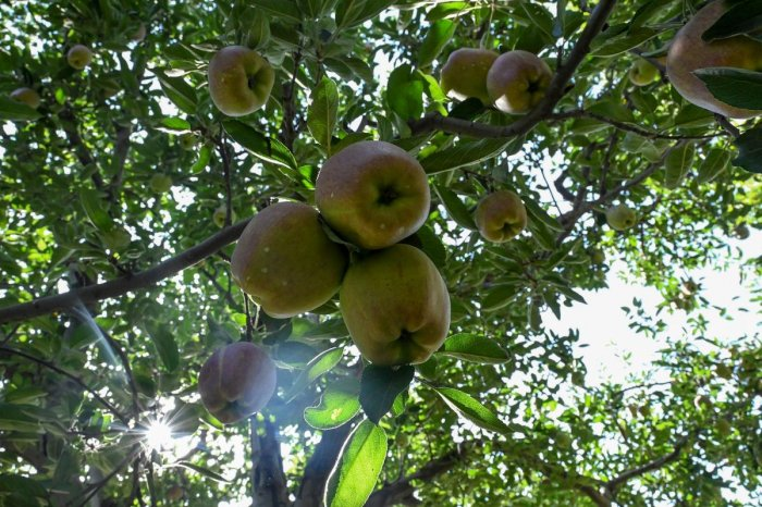 The official figures, however,suggest that 20,000 metric tons of fruit was procured under the NAFED scheme in last first two weeks across Kashmir. Photo/AFP