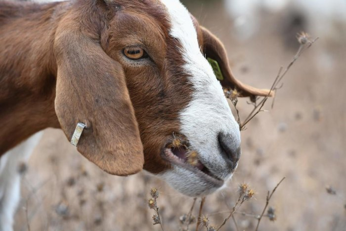 A goat can also cost you says MCL spokesman.