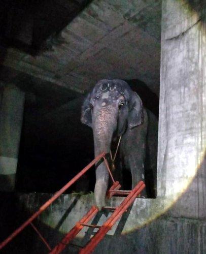 Udupi Krishna Mutt's female elephant Subhadre was shifted to Hirekal Mutt in Honnalli.