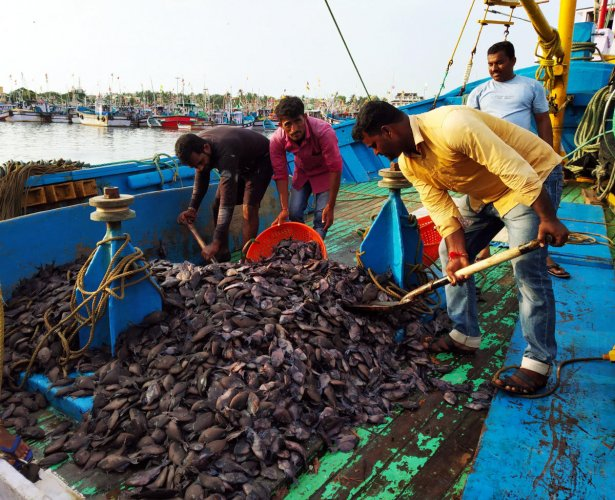 Labourers engage in clearing 'Kargil fish' from a boat at Malpe Port in Udupi.