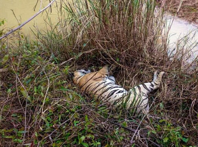 The striped cat was suspected to have been killed in a territorial fight with a bison, a senior officer of TATR said. (PTI File Photo for Representation)