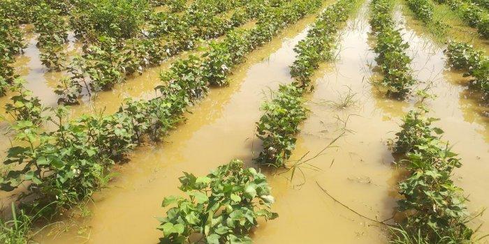 Rainwater has flooded a farmland with standing crops in Vaddu village near Toranagal in Ballari district. DH Photo