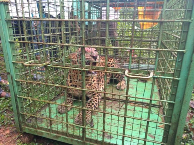 A male leopard was trapped in a cage near Maladi Government Higher Primary School, at Thekkatte Gram Panchayat jurisdiction, on Sunday.