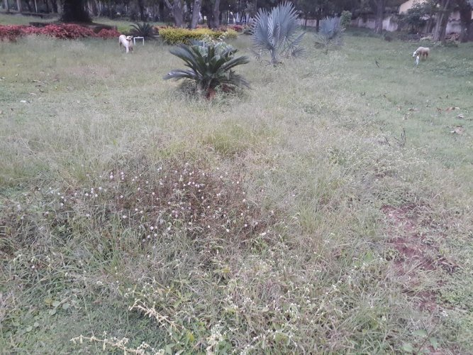 Overgrown weeds in the park on the premises of CMC office in Chikkamagaluru.