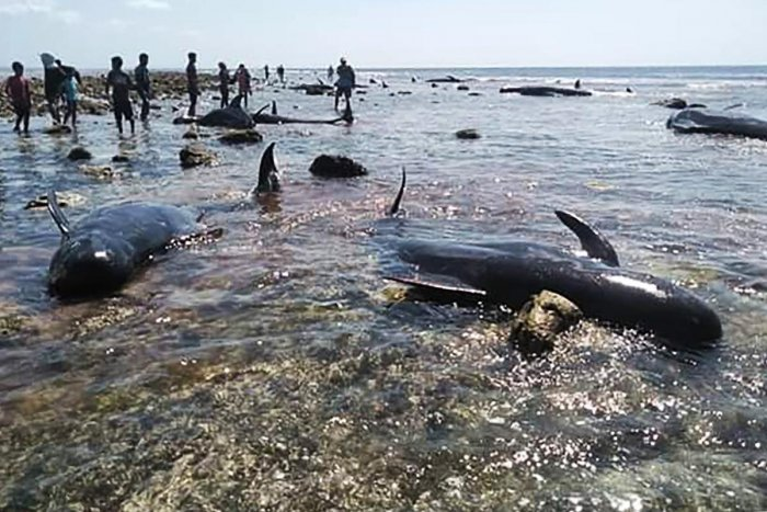 Villagers and maritime officers check on whales stranded on Kolo Udju beach on the coast of Menia Village, East Nusa Tenggara on October 11, 2019. (AFP)