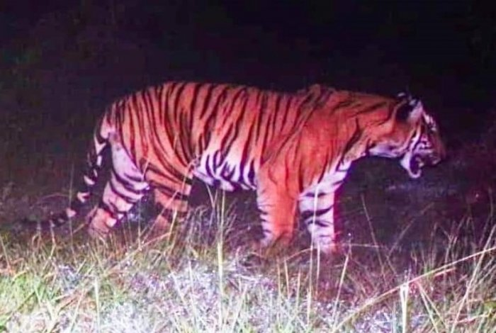 A tiger captured by a camera trap in Maguvinahalli in Bandipur.