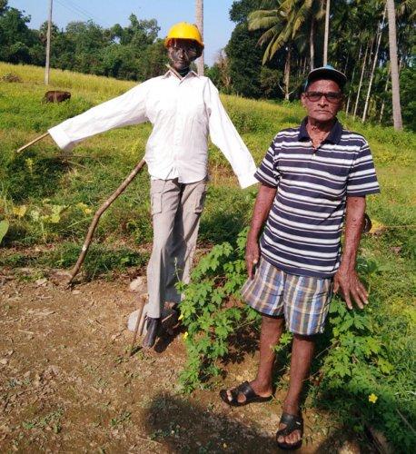 A Mannequin is used as a scarecrow in a farm land at Sankalakariya in Karkala taluk by farmer Aulin Serrao.