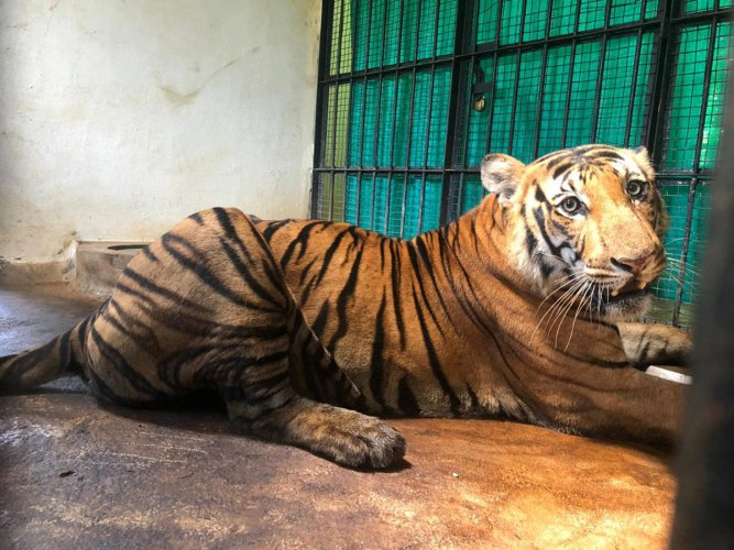 The tiger captured on Sunday is now housed at Chamundi Animal Rescue and Rehabilitation Centre at Koorgalli, near Mysuru. Photo by special arrangement