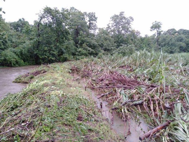 Destroyed sugarcane crop