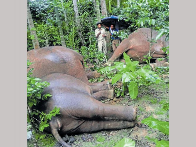 4 jumbos electrocuted in Kodagu