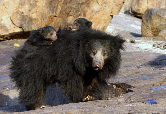 The Daroji Bear Sanctuary turned 25 this year. It also celebrates a great conservation effort.