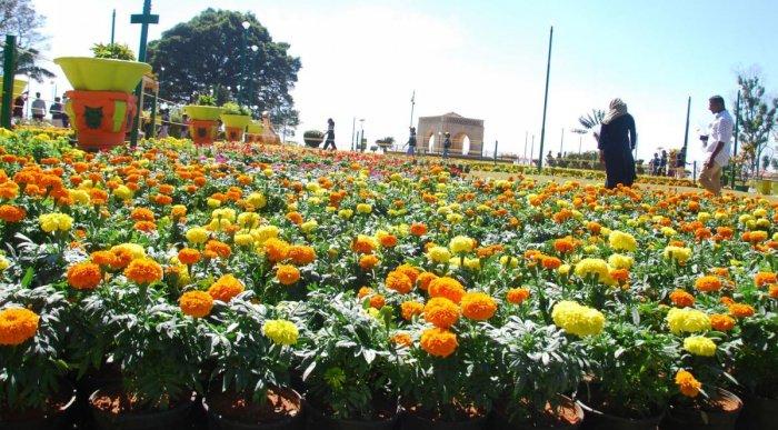 Marigold flowers in full bloom at Raja Seat in Madikeri.