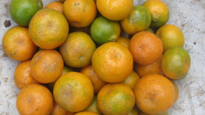 Kodagu oranges are known for their flavour and aroma.