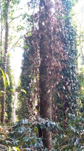 The dried pepper vines at Heggula in Somwarpet taluk.
