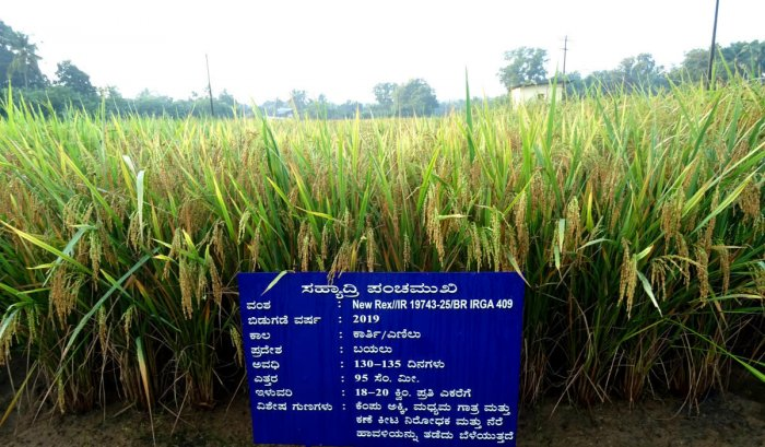 A new rice variety 'Sahyadri Panchamukhi' cultivated on a patch of land at Zonal Agricultural and Horticultural Research Station in Brahmavar.