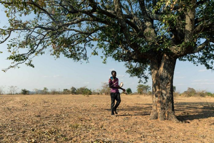 In this file photo taken on September 2, 2019 Leon Kufakunesu prepares to gather jackalberry fruit to serving the family as a midday meal at Buhera in Zimbabwe's Manicaland Province. - Zimbabwe is experiencing one of the worst droughts in history, blamed on the effects of the El Nino weather cycle. (Photo by Jekesai NJIKIZANA / AFP)