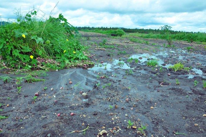 An onion field damaged by the rains at Shivani in Ajjampura.