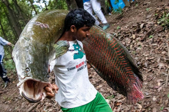 The pirarucu, one of the world's largest freshwater fish, and native to the Amazon. (AFP photo)