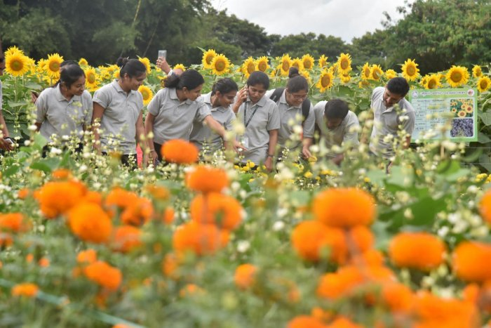 Visitors look at sunflowers at the Krishi Mela, which was inaugurated at GKVK in Bengaluru on Thursday. dh photos/Janardhan B K