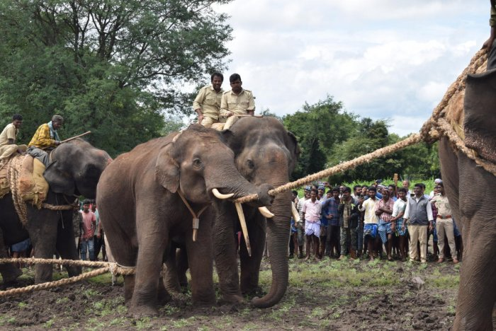 The stray elephant was caught with the help of tamed elephants at Padagur in Gundlupet taluk, Chamarajanagar on Thursday.